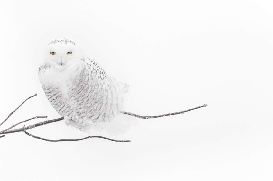Una fotografia di Vincent Munier: «Snowy owl on a branch»